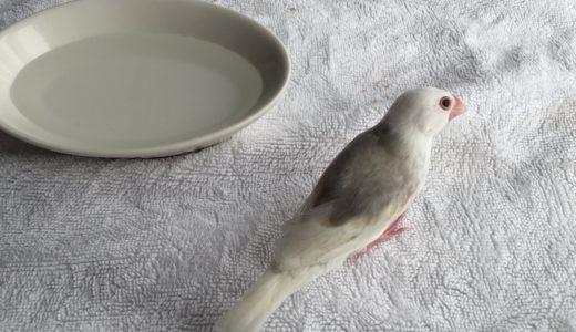 文鳥さん、初めての水浴び。