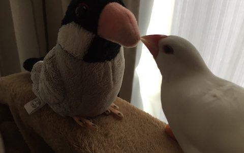 文鳥さん、お友達と仲良くできるかな?