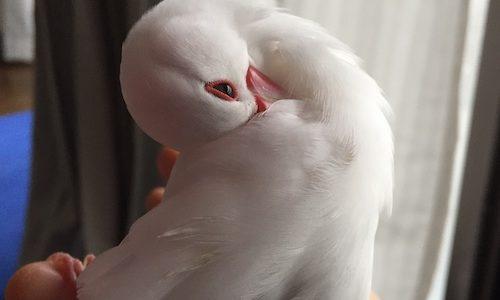 ペットの気持ちがわかる霊能者に文鳥さんのハゲについて聞いてもらった。