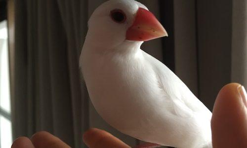 文鳥さん、ペレットをガン無視する。