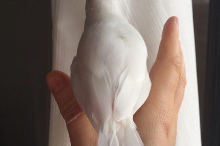 文鳥さん、今年3回目の換羽。