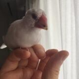換羽で顔が凄い事になってるのに、吐き戻しで愛を示してくれる文鳥さん。